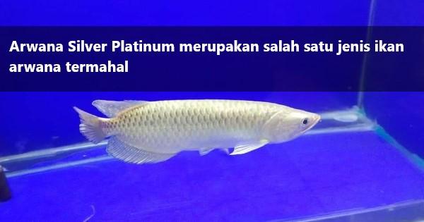 Arwana Silver Platinum
